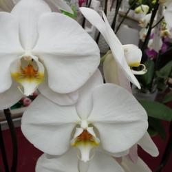 L'orchidée, une fleur de l'amour par excellence !
